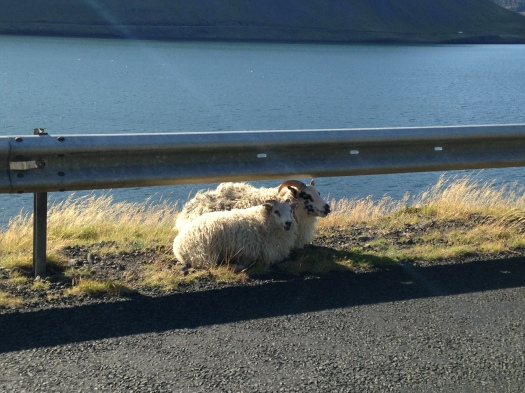 There are more than twice as many sheep as people in Iceland – a stat that begins to seem pretty conservative as soon as you start roaming around outside of downtown Reykjavík. Here's a pair of sheep hanging out and having a snack on the side of the highway. While driving around the country, it's not unusual to have to stop and wait for some sheep (or the occasional cow or horse) to finish crossing the road – which, of course, is a brand-new experience for someone used to the car- and pedestrian-crammed streets of Boston.