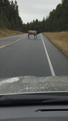 Elk crossing the road in Jackson, Wyoming.